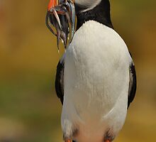 Farne Puffin by kban
