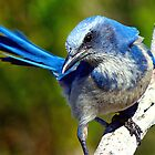 Florida scrub jay by Larry Baker
