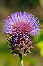 Blooming Thistle  by Jeannie  Mazur