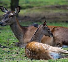 Red deers at Hoo farm  by Paul Spear