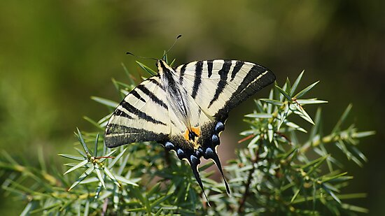 Swallowtail butterfly by Ana Belaj