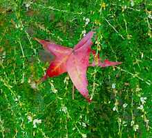 Red Star Leaf On Wild Weeds by Jonathan Green by Jonathan  Green