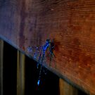Blue Dragonfly, Edmonton Alberta by Laura-Lise Wong