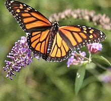 Butterfly Season - Monarch 2 by WalnutHill
