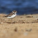 Semipalmated Plover by Bill McMullen