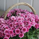 A Basket full of Asters by karina5