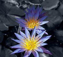 Water Lilies by Vac1