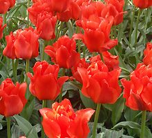 Tulips from Amsterdam by flowerbilia