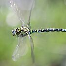 Dragonfly in flight by DutchLumix