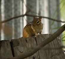 Chipmunk by sandyprints