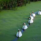 Swans of Sevenwaters  by Javimage