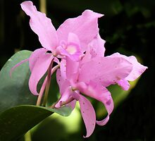 Pink Orchids by Rosalie Scanlon