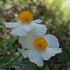 Pair Of White Prickly Poppies by TeaAira