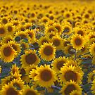 Sunflowers by roumen