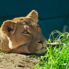 African Lioness by Chris  Randall
