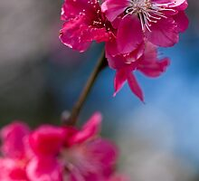 Flowering peach by Adriano Carrideo
