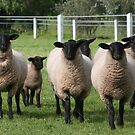 Curious Ewes by Jenny Brice