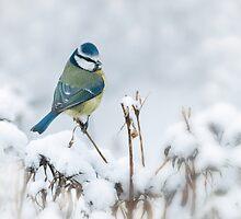 Snowy Blue Tit by Sarah-fiona Helme