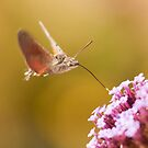 Hummingbird Hawk-moth  by Richard Heeks