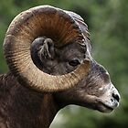 Rocky Mountain Bighorn by Michael Collier