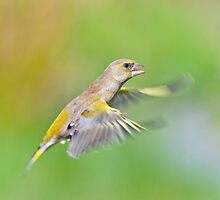 Greenfinch in flight by Margaret S Sweeny