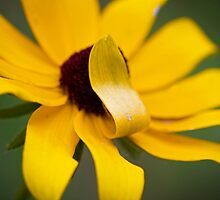 Shy Flower- A Black Eyed Susan Past its Prime by NCBobD