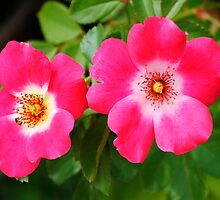Wild Rose by George I. Davidson
