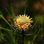Isopogon anethifolius (Drumsticks) by Erland Howden