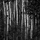 Aspen Trees by scottmarla