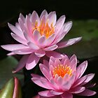 Pink Water Lilies by Sabrina Ryan