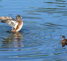 The American Wigeon by Jeannine St-Amour