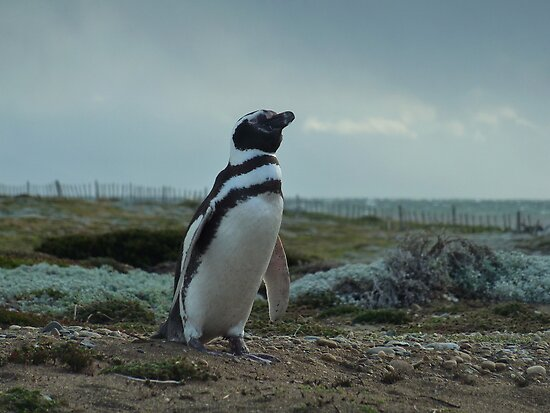 Señor Pingüino by Ameng Gu