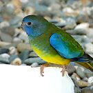 Did You Call Out My Name? - Turquoise Parrot - NZ by AndreaEL