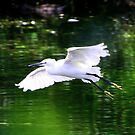 Little Egret (Egretta garzetta) by Hovis
