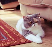 Exotic Shorthair - Persian Cat by Liam Liberty