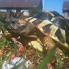 My tortoise Nala! by weecritter