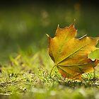 Maple leaf by SylBe