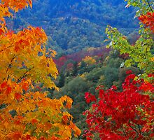 MAPLE TREES,BLUE RIDGE PARKWAY by Chuck Wickham