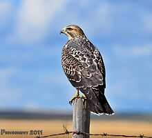 Swainson's Hawk by Ron Kube