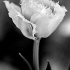 White Ruffled Tulip by Renee Hubbard Fine Art Photography