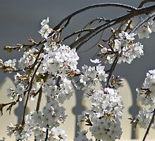 Weeping Cherry by garts