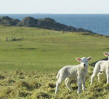 Spring Lamb Twins by David Alexander Elder