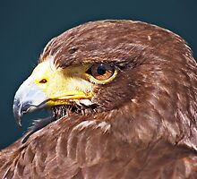 Golden Eagle by David Alexander Elder