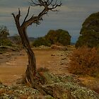 Western Cedar Tree by Susan Humphrey