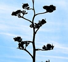 Century-Agave Americana by Kim North