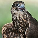 Saker's Falcon by neil harrison