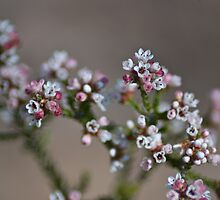 Heath Myrtle by garts