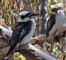 Kookaburras by triciaoshea