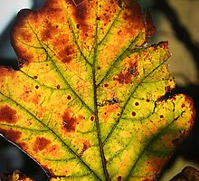 Fall leaf full of color  by Liz Smith