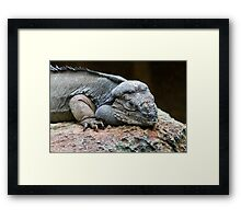 Rhinoceros Iguana Framed Print